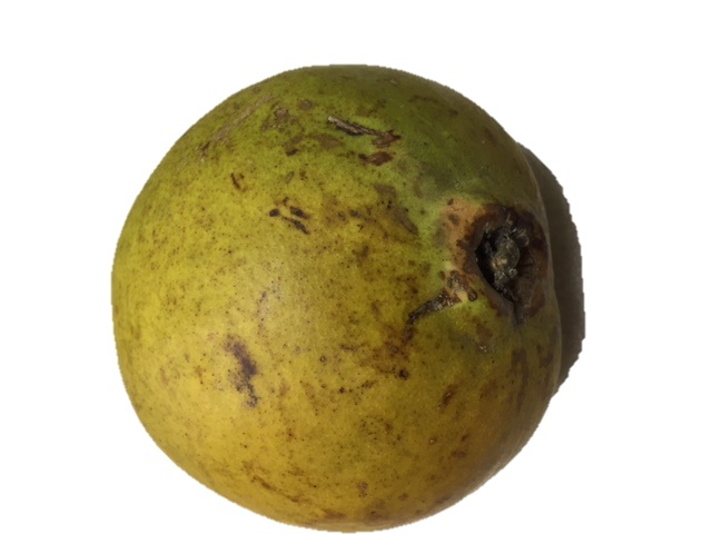 Guaje Cirial Whole (Individual Unit)